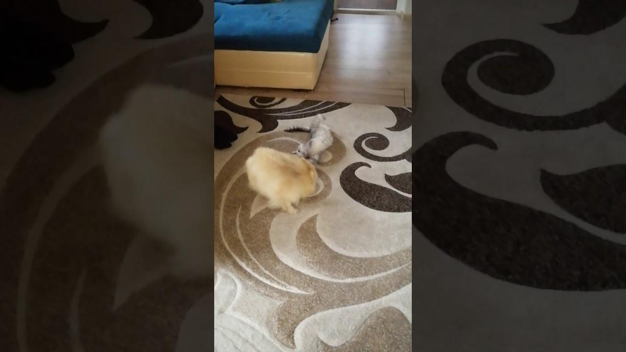 Собачка играет. Шпиц и кошка - YouTube