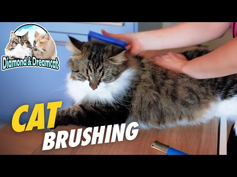 How to brush long-haired cats - Cat grooming deShadding techniques on siberian cat