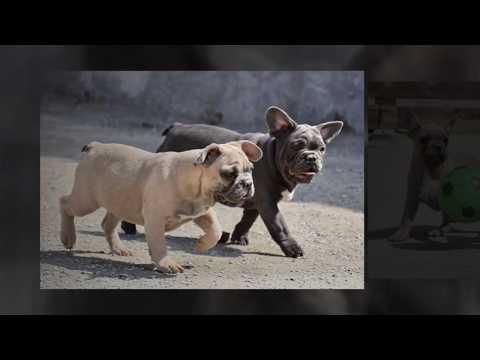 Blue French Bulldog Puppies  May 2018