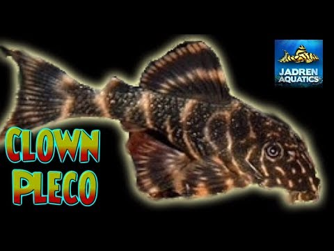 Unboxing Clown Pleco In The Fish Room Aquabids