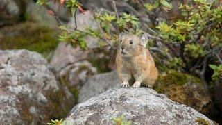 ナキウサギ 4  Japanese Pikas Calling Out : Cute animals in Nature