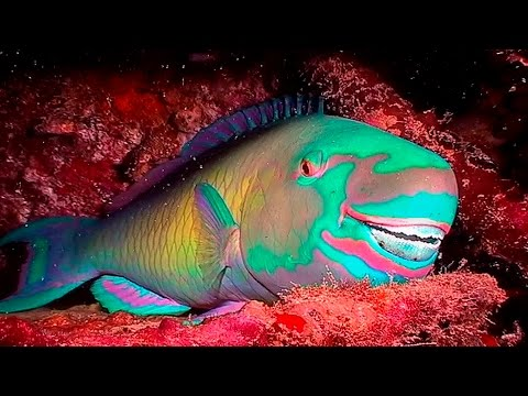 Parrotfish: Buck-Toothed And Beach-Building Beauties! [HD] | Borneo From Below (S01E21) | SZtv