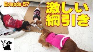 この犬のおもちゃは3頭一緒に楽しめる唯一のものです。 激しい綱引きで...