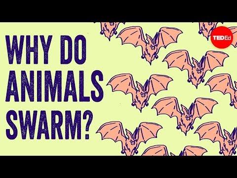 Why Do Animals Form Swarms? - Maria R. D'Orsogna