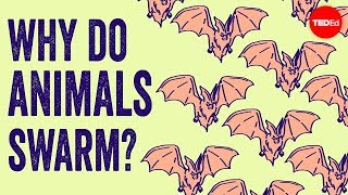 Why do animals form swarms? - Maria R. D'Orsogna