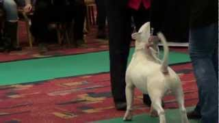 Bilboen Your Eyes Only- Bullterrier Trophies Show 2013- Part 02