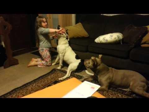 Pit bull attacks little girl