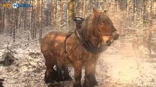Paard beslagen in traditionele travalje in Noordwelle