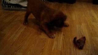 Dogue De Bordeaux Vs Pig Ear
