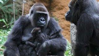 上野動物園では、4月24日に生まれたニシローランドゴリラのメスの赤...