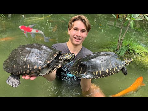 CATCHING TURTLES HIDING IN KOI POND !