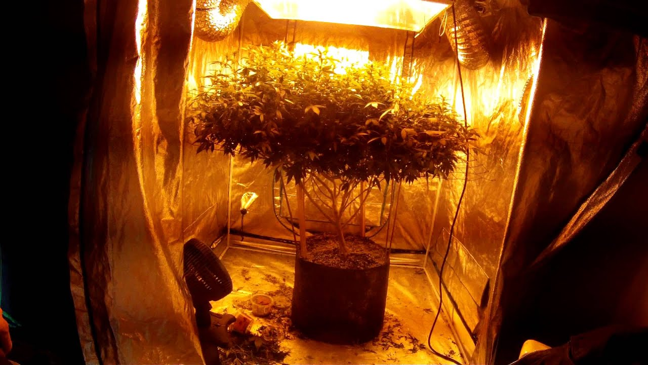 1000 watt scrog 20 gal pot 2 week of flowering critical mass medical grow 100% all legal - YouTube & 1000 watt scrog 20 gal pot 2 week of flowering critical mass ...