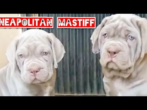 the-neapolitan-mastiff:-italian-origin-mastino-massive-guarding-&-protector-dog-breed