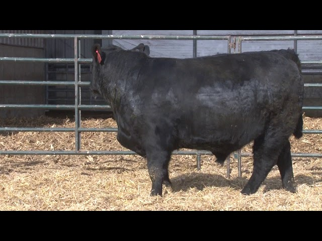Schiefelbein Angus Farms Lot 94