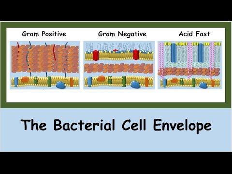 The Bacterial Cell Envelope
