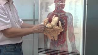 Строение и топография желудка