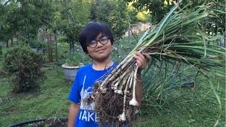 Harvesting Garlic (Allium Sativum) - To Repel Ghosts In Our Backyard?? They Could Be Anywhere