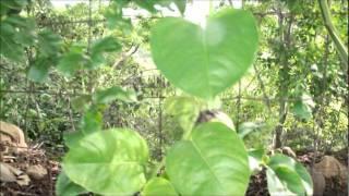 pasiflora cuadrangularis video hd maracuya gigantye
