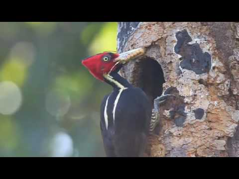 Toft Photo Safaris Birds of Honduras Workshop: Pale-Billed Woodpecker