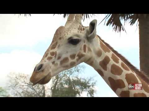 Thumbnail: What to expect from April the giraffe's pregnancy
