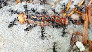개미가 매미나방유충 먹…