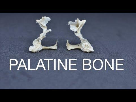 PALATINE BONE