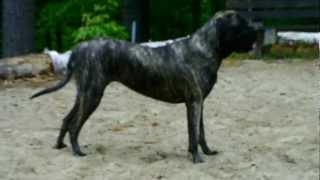 bullmastiff wrestling puppy breeding for sale training photo pet dog free
