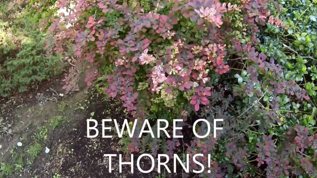 How To Trim Rosy Glow Barberry Youtube