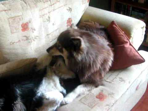 Finnish Lapphund Taavi's visit at Dogs to  Stay