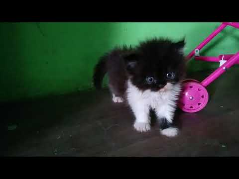Cute little kitten 🐱 | Black & White Persian Cat Baby Funny Play