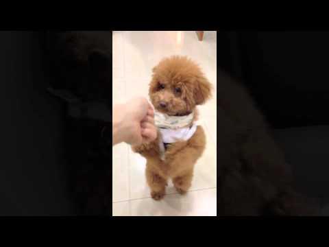 poodle tricks by babybear