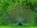 Nice Rare Peacock images,Peacock Pictures,Peacock Photos,Peacock Wallpapers Video