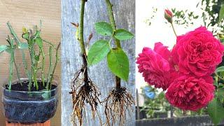 Aprenda a Fazer Mudas de Rosas Reutilizando a Borra de Café