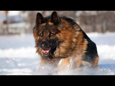 Best German Shepherd Double Coat Dog