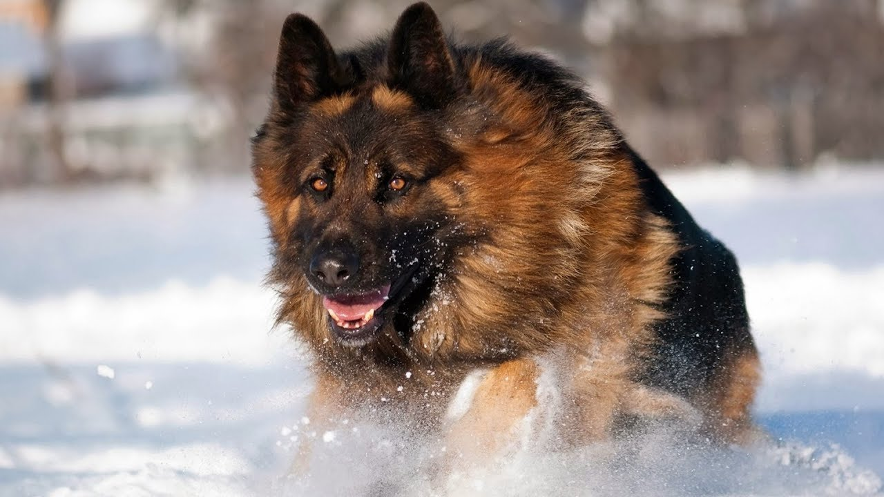 best german shepherd double coat dog youtube rh youtube com