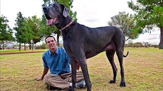 Самые огромные собаки в мире!
