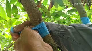 Kỹ thuật ghép cải tạo cây nhãn
