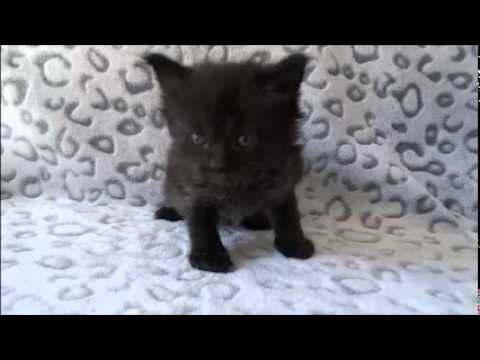 legend black ragdoll kitten from www ragdollkittens net youtube