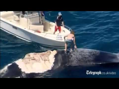 [AMAZING] Australian idiot surfs dead whale as sharks circle Harrison Williams