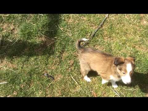 PuppyFinder.com : 2.7.19 Sheltie