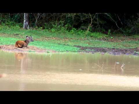 Sambhar Deer (கடமான்) Fawn in Sathyamangalam Tiger Reserve