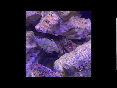 For Sale: Matted Filefish (Acreichthys Tomentosus) (male)