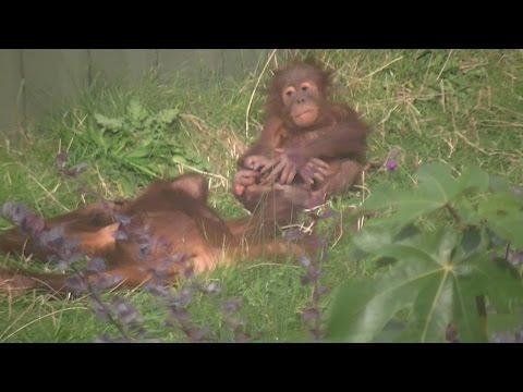 Orangutans Chester Zoo FUNNY