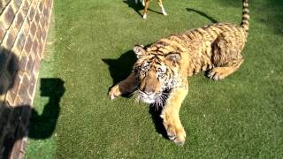 That moment You realise You cannot outrun that tiger !
