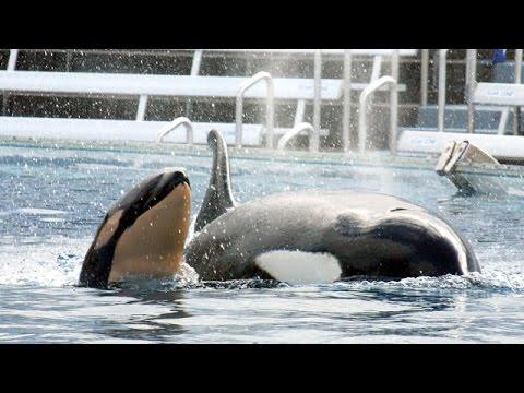 SeaWorld Will Stop Breeding Captive Killer Whales - Newsy