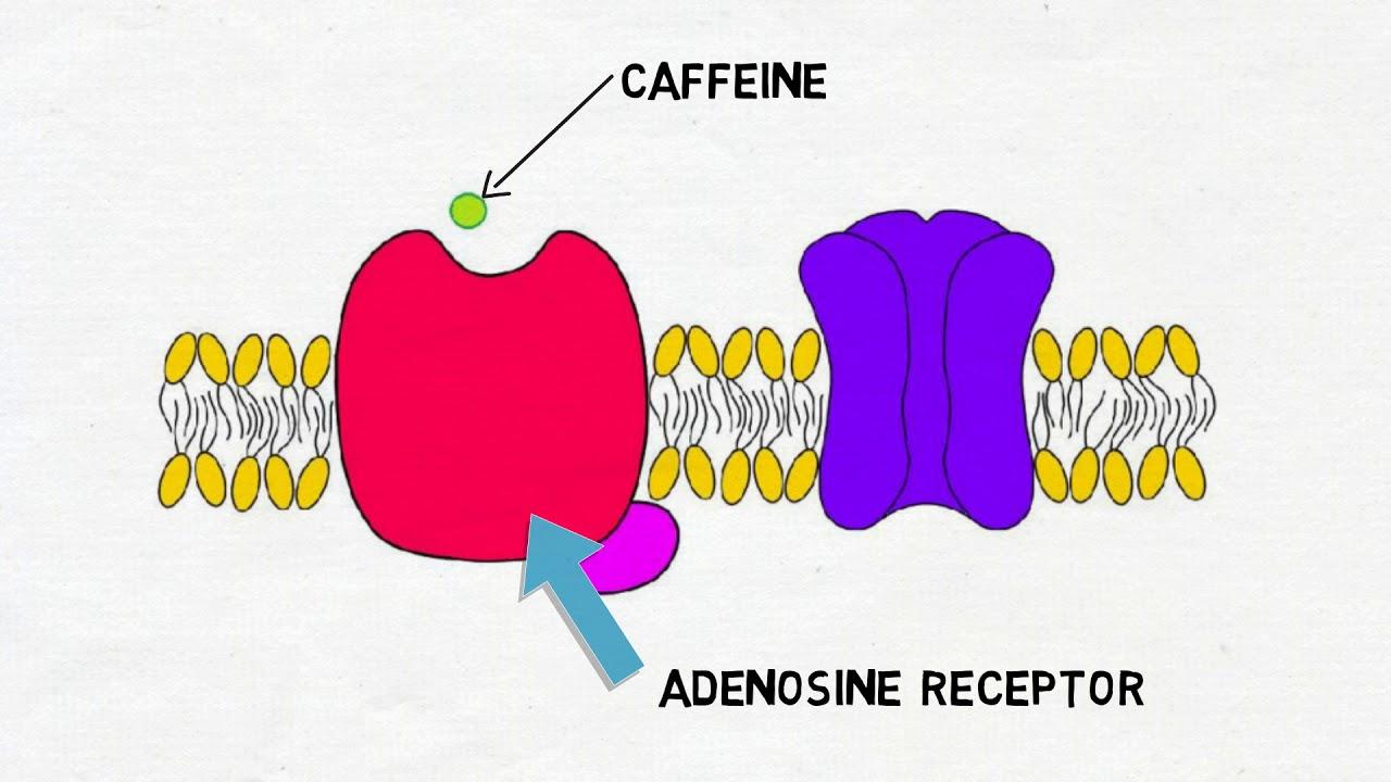 2-Minute Neuroscience: Caffeine - YouTube