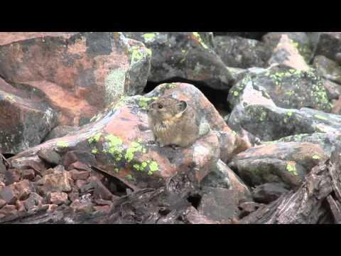 American pika (Ochotona princeps)