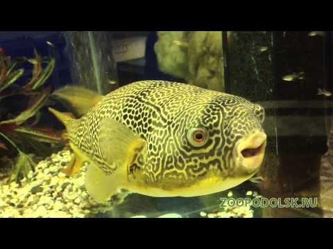 Tetraodon mbu vs moule doovi for Dwarf puffer fish for sale