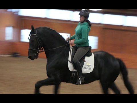 Riding friesian gelding practicing counter canter during dressage lesson
