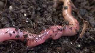 Fortpflanzung der Regenwürmer